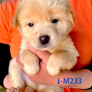M233 可愛い子犬です。離乳期です
