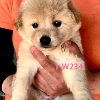 W231 可愛い子犬です。離乳期です。