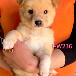 W236 可愛い子犬です。離乳期です。