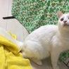 半長毛 保護猫♂ 3歳くらい サムネイル2
