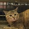 岩国市健康福祉センター収容美猫キジトラ命の期限あり サムネイル2