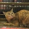 岩国市健康福祉センター収容美猫キジトラ命の期限あり サムネイル3