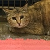 岩国市健康福祉センター収容美猫キジトラ命の期限あり サムネイル4