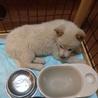 大型犬仔犬  生後2か月 男の子 サムネイル2