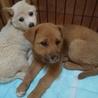 大型犬仔犬  生後2か月 男の子 サムネイル3