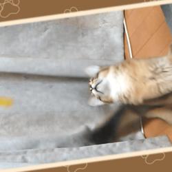 猫じゃらしで遊ぶうちのソマリです