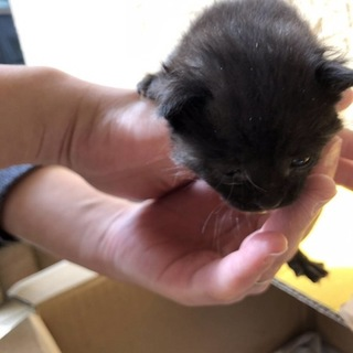 黒い仔猫の4兄弟 クロ二ちゃん里親急募!