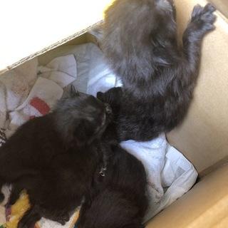黒い仔猫の4兄弟 クロミツちゃん里親急募!