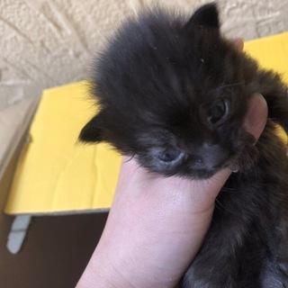 黒い仔猫の4兄弟 クロヨちゃん里親急募!