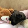 大人しい1ヶ月の小犬ちゃん︎☺︎ サムネイル4