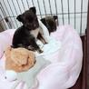 大人しい1ヶ月の小犬ちゃん︎☺︎ サムネイル6