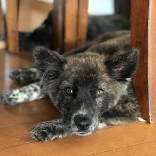 琉球犬MIX 11月生まれモフ虎女子の青葉ちゃん