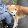 秋田犬 オス 3歳 血統書有 サムネイル2