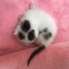 トライアル予定☆保健所レスキューの子猫達 サムネイル5