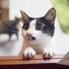 毛玉大好き!ギザギザしっぽの白黒猫エバちゃん サムネイル5