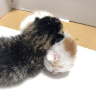 【募集中止】生まれたばかりの2匹...
