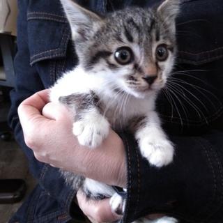 子猫 女の子 キジトラ  2月22日生まれ
