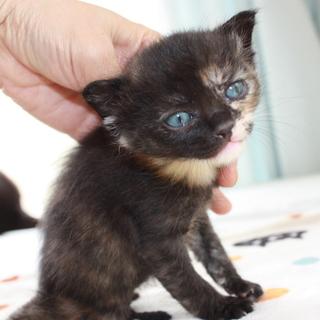 動画あり可愛いサビ猫きゃろらいんちゃん離乳中