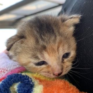 子猫 サビ かわいい