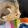 子猫 サビ かわいい サムネイル2