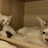 3/19生まれ青い瞳の子猫とママ3匹一緒に サムネイル2