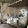 3/19生まれ青い瞳の子猫とママ3匹一緒に サムネイル4