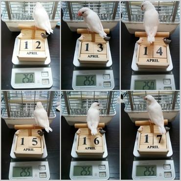 体重記録 4/12~4/17 日々伸びていく尾羽も併せてご覧ください