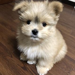 ポメラニアンとシーズーのミックス最後3ヶ月の子犬