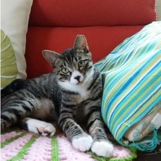 イケメン ソックス猫のこてつ 7か月