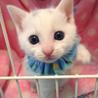 可愛い白子猫☆令央(レオ)くん 2ヵ月弱