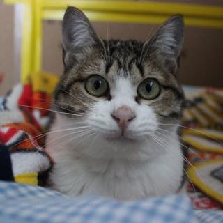 【保護猫】大きなおめめの1才女のコ・美人さん☆