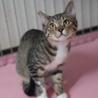 生後11ヶ月の靴下猫の男の子です。 サムネイル2