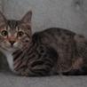 生後11ヶ月の靴下猫の男の子です。 サムネイル4