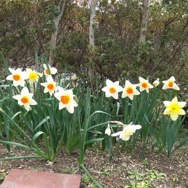 俺の水仙♡季節外れの雪で倒れそうになったけど…こんなに元気に咲いたんだ‼コタロウくんも…病気になんて…負けないよ‼‼