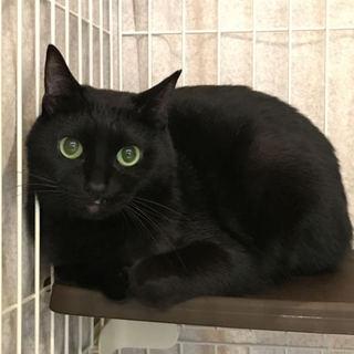 目がきれいな美しい黒猫かりんちゃん