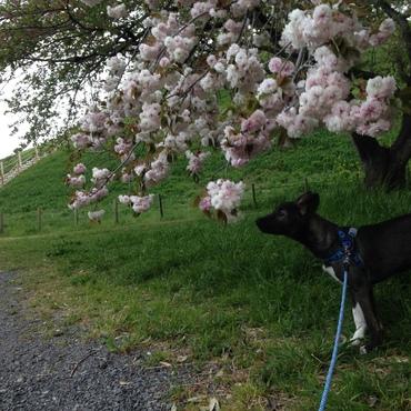 丸墓山古墳の八重桜は満開だったね