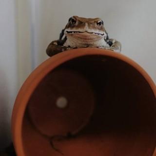 ヒキガエルの引き取り手を探しています。