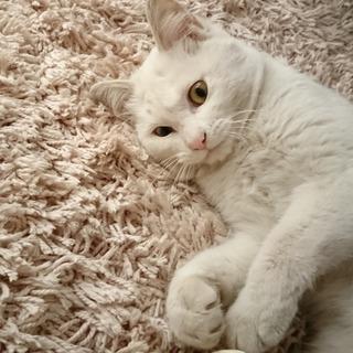 11カ月の白猫ちゃん。甘えん坊&元気な女の子です。