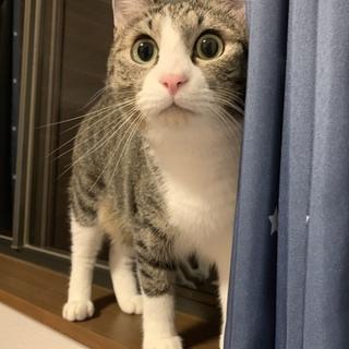 去勢済の2歳雄猫です