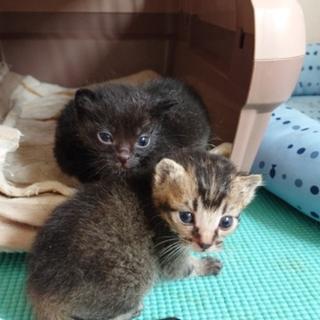 生後3週間ほどの仔猫とお母さん役猫