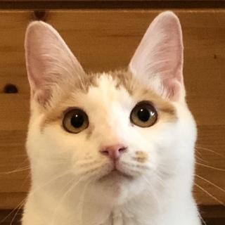 さびしん坊の茶白の美少女たまちゃん10ヶ月