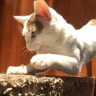白ミケ美猫のゆきちゃん❣️