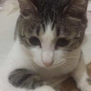 アイラインぱっちりな美人猫の里親さん募集中です。