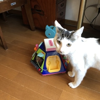 甘えん坊で元気で活発♩白黒キジ柄の美しく若いオス猫