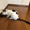 白黒キジで珍しい柄の美ネコくんです! サムネイル4