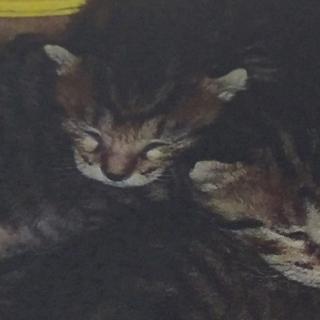 1ヶ月未満の子猫