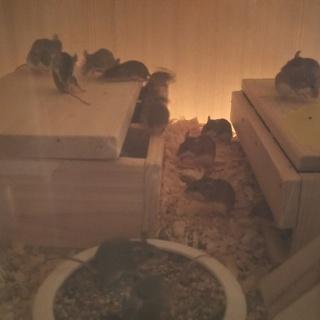 アフリカチビネズミの里親募集