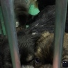 チワワシーズー♂5匹センター来訪者に譲渡されました サムネイル6