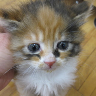 OS-722  可愛い子猫です。三毛猫。