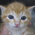 OS-724 可愛い子猫です。茶トラ。